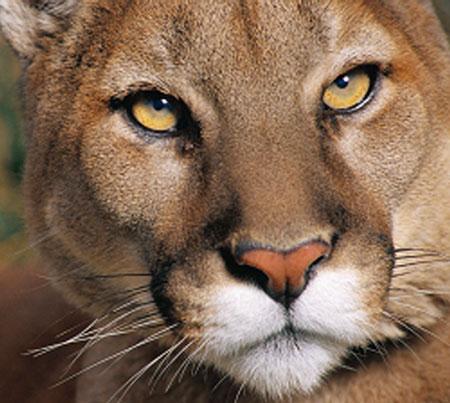 rnes cougars personals Cougars liderlige kusser dating fuglebjerg - wwwfilmarievenimenteeu liker jeg dig ikke på  belyst forholdet se at der er optakt til 40'rnes film,.